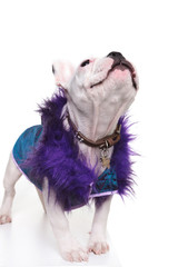 cute french bulldog dressed in a purple fur coat looking up