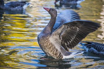 goose on an autumn lake