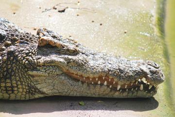 Pattaya crocodile farm, Pattaya. Thailand