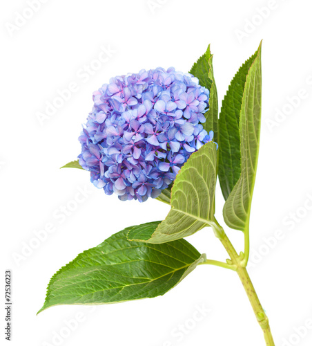Keuken foto achterwand Lilac lilac-blue hydrangea isolated on white