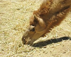 Dromedary or Arabian camel in Australia