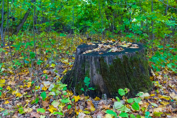 old stump in a forest