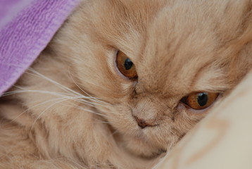 Sleeping persian cat