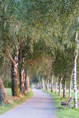 European Birch Path II