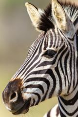 Zebra Head Wildlife Animals