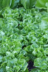 Broad-leaved Endive Salad leaves in the garden