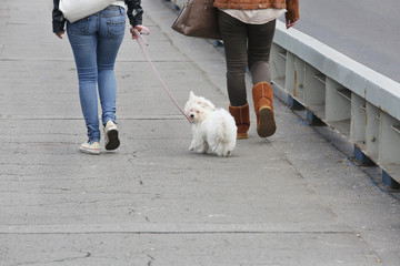 Two Girls Walking Maltese Pappy in the City