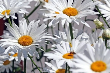 white daisies bloomed beautifully in the middle of the lawn