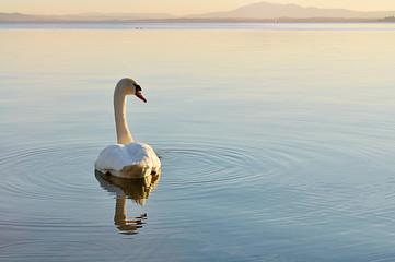 Cigno solitario sul lago al tramonto