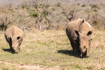 Rhinos Calf Wildlife Animals