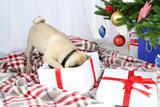 Fototapety Funny, cute and playful pug dog
