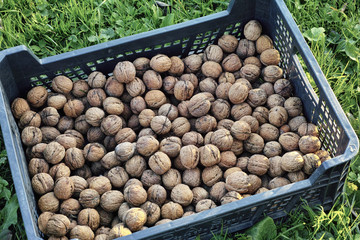 The box of walnut  at grass