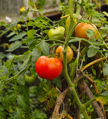 The ripen and unripen tomatoes on stem