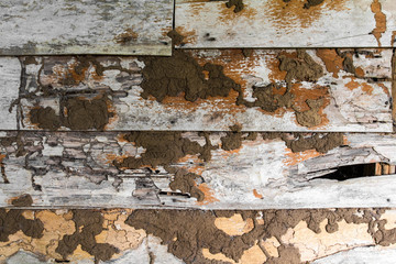 Termite nests are eaten moldy old wood wall damage.