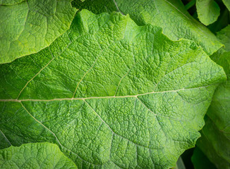 Green leaf burdock as background. Selective focus.