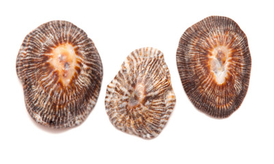 limpet shells isolated on white
