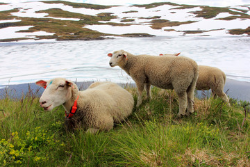 sheep on a spring meadow, norway