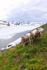 sheep on a spring meadow in norway