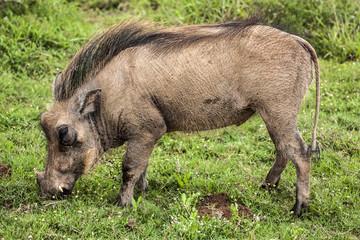 Warthog grazing in Africa.