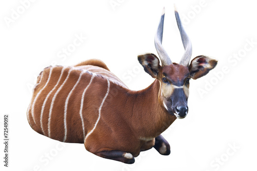 Fotobehang Antilope The Bongo antelope on a white background