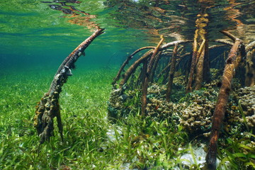 Mangrove underwater with sea life in the roots
