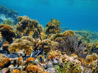 Underwater landscape in a Caribbean coral reef