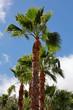 canvas print picture - Palmen, Gran Canaria