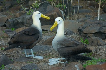 Waved Albatross Mating in Galapagos Islands
