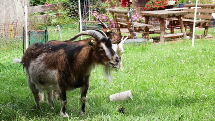 old goat chewing grass at farm