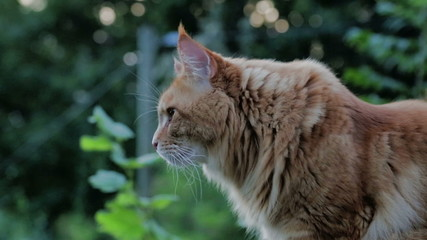 Ginger Cat in Garden before heading out
