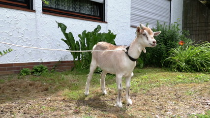 young goat held on a leash at farm in Germany