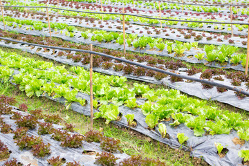 Organic hydroponic vegetable farm in Northern of Thailand