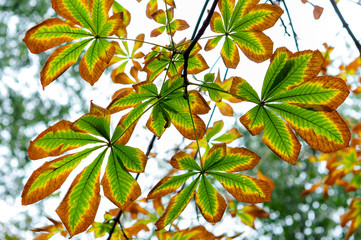 Autumn chesnut leaves