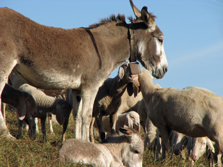 Donkey with many sheep of the great herd grazing