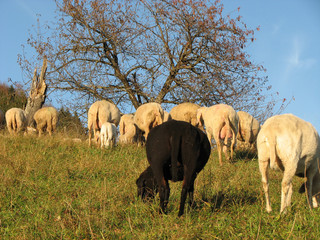 black sheep in the midst of the flock with many other white  she