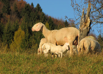 mother sheep breastfeeding her lamb in the midst of the flock in