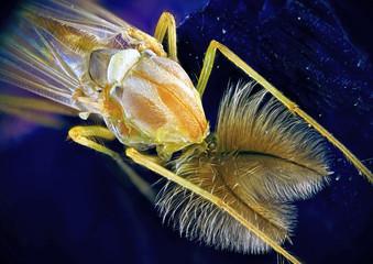 Комар-Звонец на синем цветке