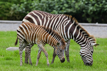zebra with young one