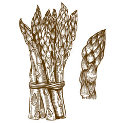engraving illustration of asparagus on white background