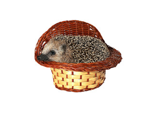 Small forest hedgehog in a basket isolated