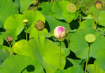 Marais - Fleurs de lotus