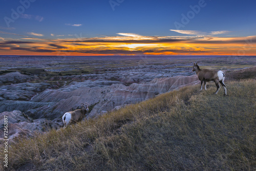 Foto op Canvas Schapen Badlands Bighorn