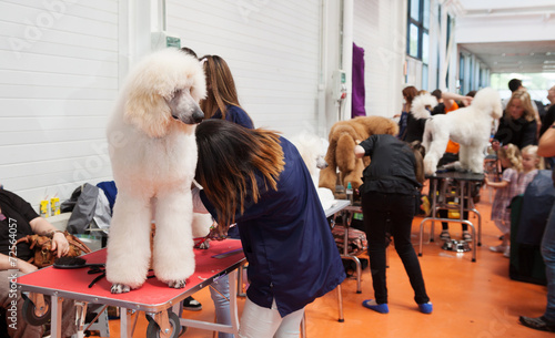 canvas print picture  Poodle and their owners at  exhibition