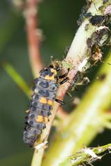Ladybug larva, Coccinella septempunctata on aphids