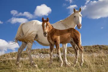 Cavalla bianca e il suo puledro marrone