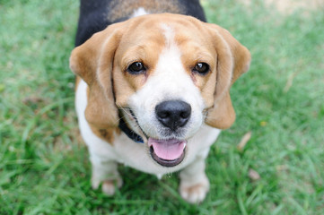 Single beagle looking up