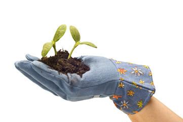 Hand With Gardening Glove and Baby Plants