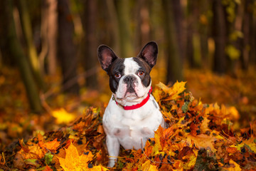 Portrait of french bulldog sitting in leaves