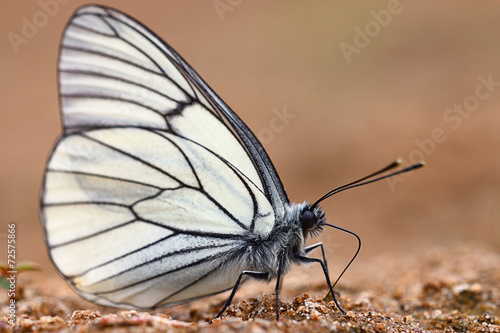 Poster Vlinder white butterflies on sand