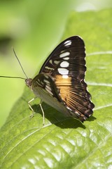 Birdwing Asia Butterfly - ventral view